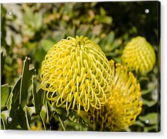 Yellow Spider Flower Acrylic Print