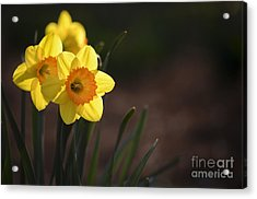 Yellow Spring Daffodils Acrylic Print by Andrea Silies