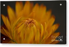 Yellow Strawflower Blossom Close-up Acrylic Print