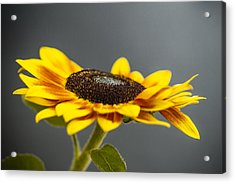 Yellow Sunflower Photograph Acrylic Print