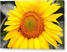 Yellow Sunflower With Bee Acrylic Print by Amy Fose