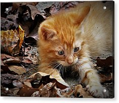 Yellow Tabby Kitten Acrylic Print