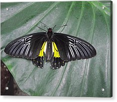 Golden Birdwing Acrylic Print