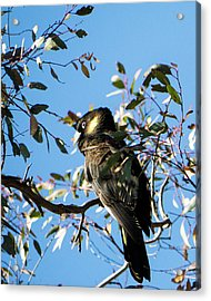 Yellow-tailed Black Cockatoo Acrylic Print by Steven Ralser
