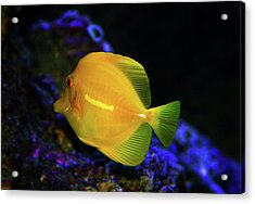 Acrylic Print featuring the photograph Yellow Tang by Anthony Jones