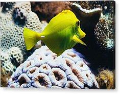 Yellow Tang Fish Acrylic Print