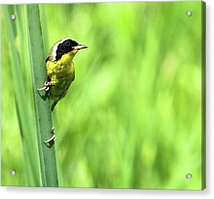 Yellow Throat Acrylic Print