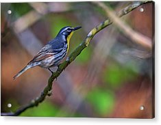 Yellow-throated Warbler Acrylic Print by Rick Berk