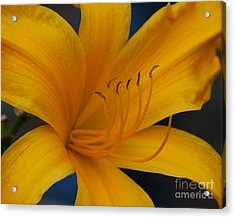 Yellow Tiger Lilly Acrylic Print