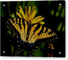 Yellow Tiger Swallowtail Butterflly Acrylic Print by Martin Morehead
