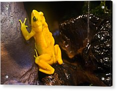 Yellow Tropical Frog Acrylic Print by Douglas Barnett