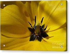 Yellow Tulip 1 Acrylic Print by Jean Bernard Roussilhe