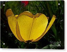 Yellow Tulip 2 Acrylic Print by Jean Bernard Roussilhe