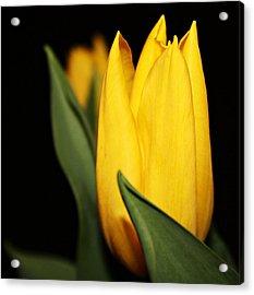 Yellow Tulip Acrylic Print by Cathie Tyler