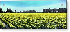 Yellow Tulip Fields Acrylic Print by David Patterson