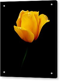 Yellow Tulip In Oil Acrylic Print by Ralph Liebstein