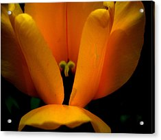 Yellow Tulip Acrylic Print by Martin Morehead