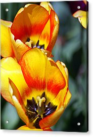 Yellow Tulip Acrylic Print by Marty Koch