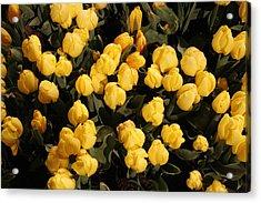 Yellow Tulips Acrylic Print by Jeff Porter
