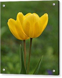 Two Yellow Tulips Acrylic Print by Sandy Keeton