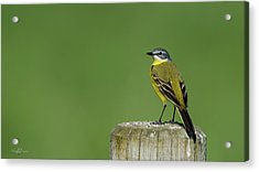 Yellow Wagtail Perching On The Roundpole Acrylic Print
