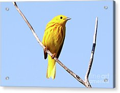 Yellow Warbler #1 Acrylic Print by Marle Nopardi