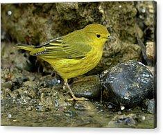 Yellow Warbler Acrylic Print by Doug Herr