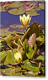Yellow Water Hyacinth Acrylic Print