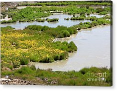Yellow Wildflowers At Mud Volcano Area In Yellowstone National Park Acrylic Print by Louise Heusinkveld