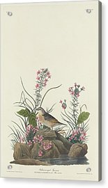 Yellow-winged Sparrow Acrylic Print by Rob Dreyer
