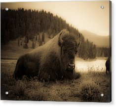 Yellowstone Bison 2 Acrylic Print by Patrick  Flynn