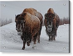 Yellowstone Bison Acrylic Print by DBushue Photography