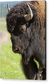 Yellowstone Bison Portrait Acrylic Print by Sandra Bronstein