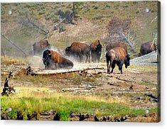 Yellowstone Buffalo- Fine Art Photograph Acrylic Print by Greg Sigrist