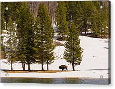 Yellowstone Buffalo Acrylic Print