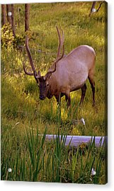 Yellowstone Bull Acrylic Print by Marty Koch
