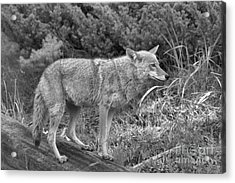 Yellowstone Coyote Black And White Acrylic Print by Adam Jewell