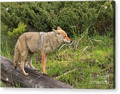 Yellowstone Coyote Pose Acrylic Print by Adam Jewell