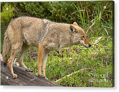 Yellowstone Coyote Scout Acrylic Print by Adam Jewell
