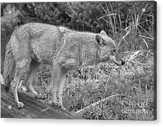 Yellowstone Coyote Scout Black And White Acrylic Print by Adam Jewell