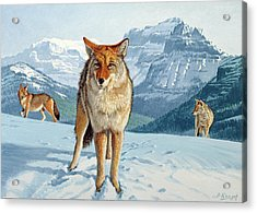 Yellowstone Coyotes Acrylic Print