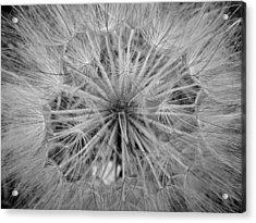 Yellowstone Dandelion Acrylic Print by Jonathan Hansen