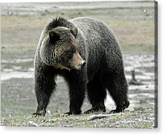 Acrylic Print featuring the photograph Yellowstone Grizzly A Pondering by Bruce Gourley