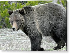 Acrylic Print featuring the photograph Yellowstone Grizzly On The Hunt by Bruce Gourley
