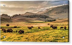 Acrylic Print featuring the painting Yellowstone National Park Lamar Valley Bison Grazing by Christopher Arndt