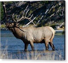 Yellowstone Park Elk Acrylic Print by Greg Sigrist