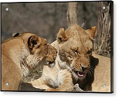 Yes Dear Acrylic Print