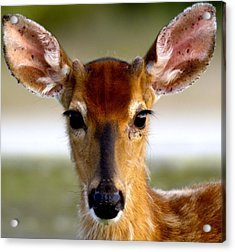 Yes Deer Acrylic Print by Joseph Gillette
