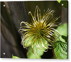 Yesterday's Bloom - 1 - Clematis Acrylic Print