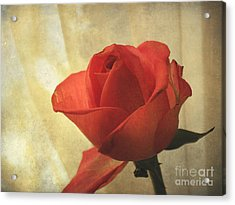 Acrylic Print featuring the photograph Yesterday's Rose by Jacqi Elmslie